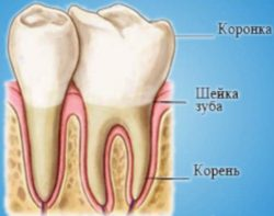 Количество корней и каналов у зубов человека