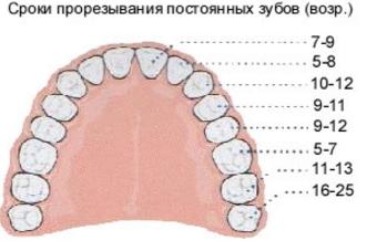Моляры это какие зубы: схема прорезывания